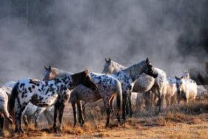 Breed profile: The Appaloosa
