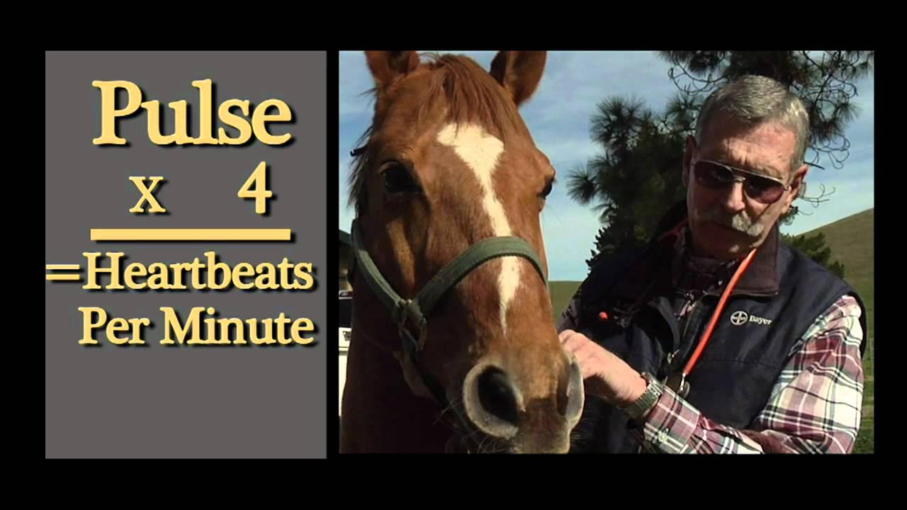 Horse Health: Checking a pulse