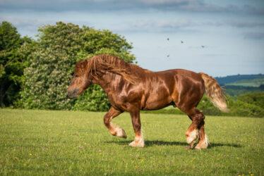 Rare breed: Suffolk Punch