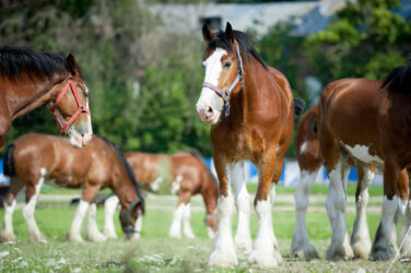 The Clydesdale in South Africa