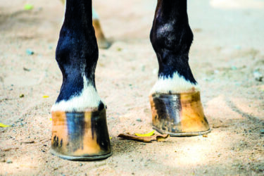 Ask a vet – Pedal bone fractures in the horse