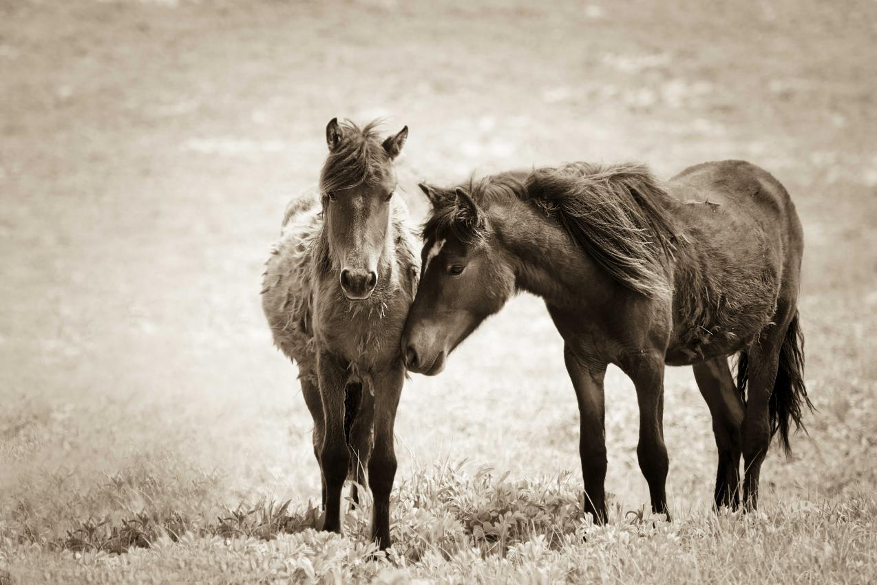 The horses of Sable Island