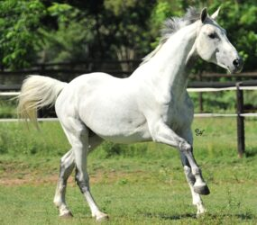Consuelo tribute – a gift for breeding and the sport