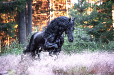 AskHQ: Wiry-haired friesian