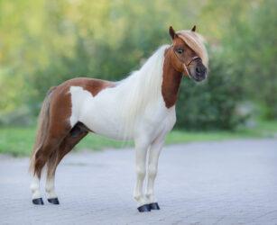 AskHQ: Miniature Horse tack