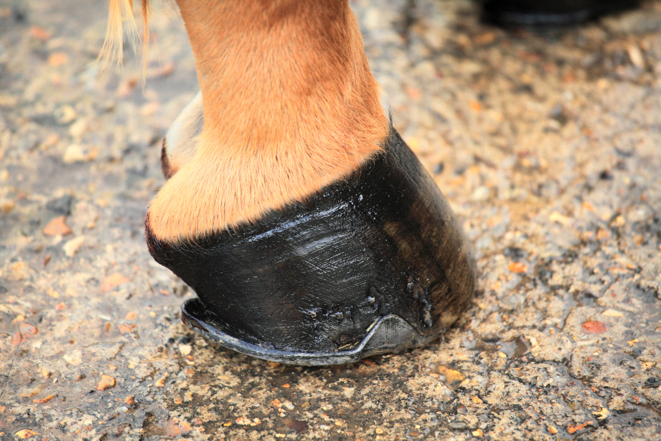 AskHQ: What is a 'bullnosed' hoof?