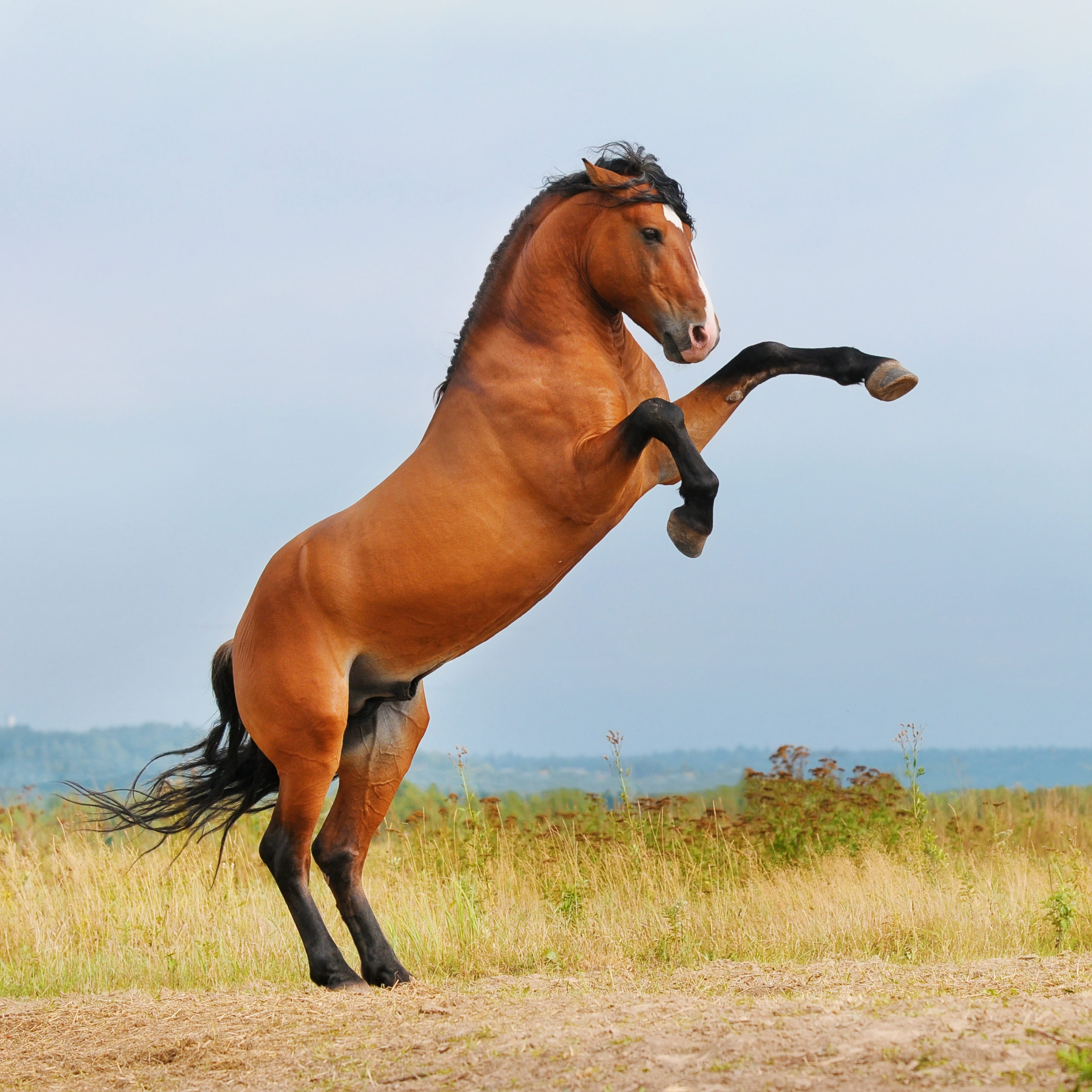 AskHQ: The rearing horse