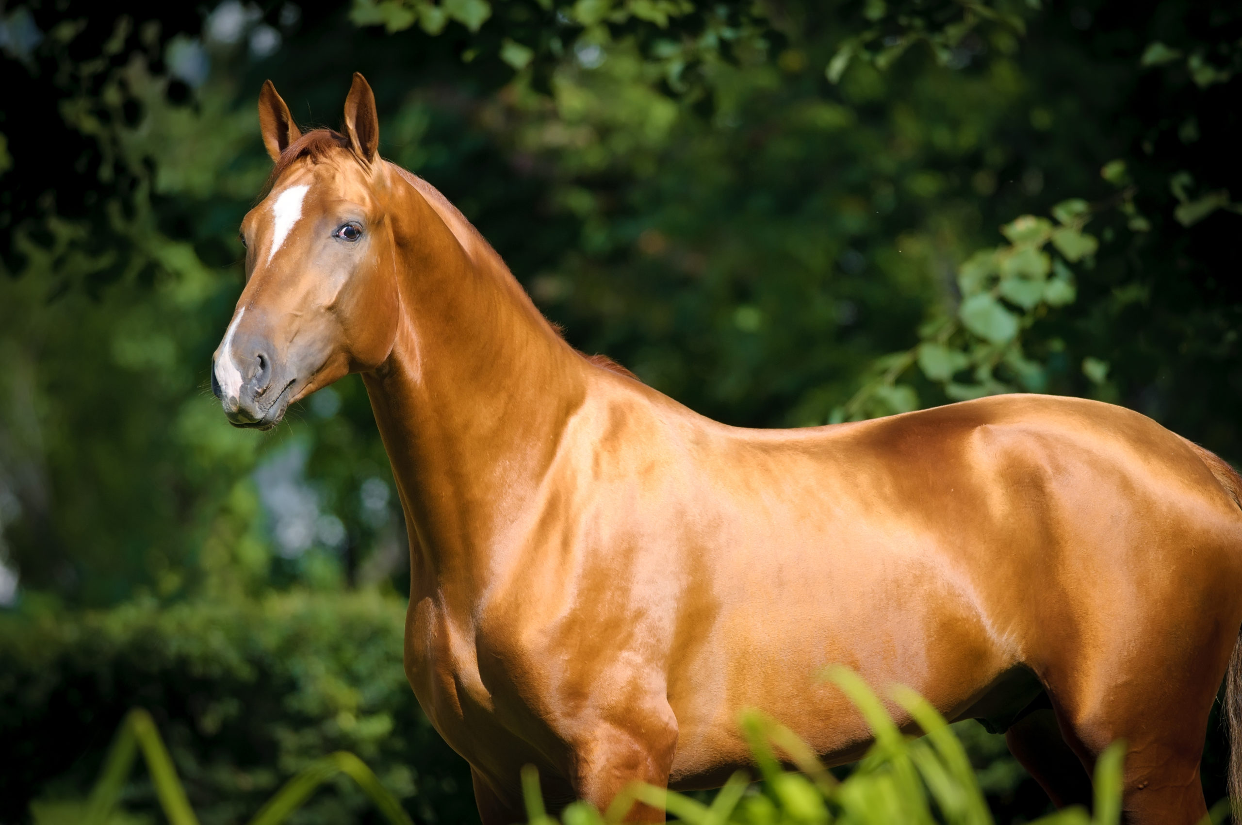 Beautiful,Golden,Red,Don,Horse,Portrait,In,Summer