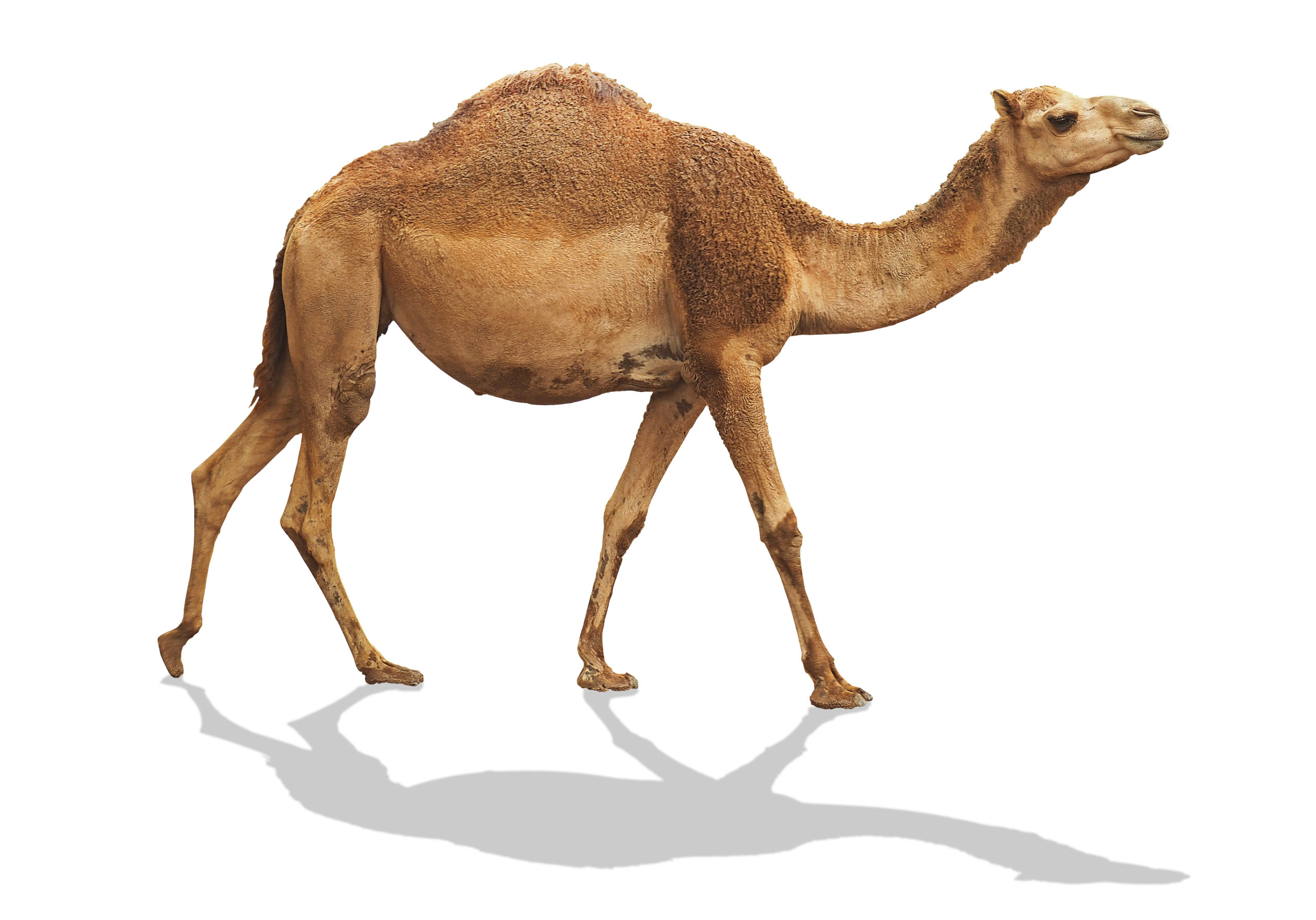 Camel,Waling,Isolated,On,White,Background,With,Clipping,Path,Include