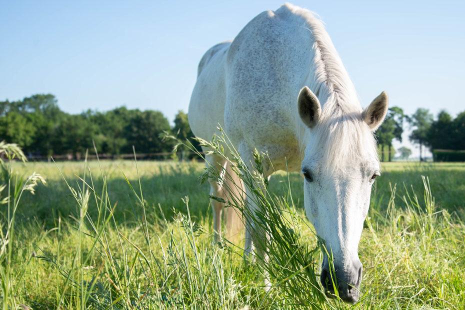 White,Horse,Grazing,Long,Grass